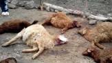 باشگاه خبرنگاران -گرگهای گرسنه ۱۱ راس گوسفند را دریدند