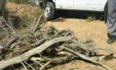 باشگاه خبرنگاران -شناسایی و دستگیری عامل تخریب درختان تاغ وکشف ۲۳ تن چوب
