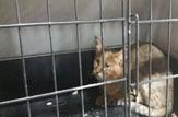 باشگاه خبرنگاران - تحویل یک قلاده گربه وحشی زخمی به محیط زیست آمل