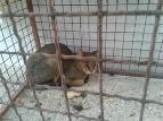 باشگاه خبرنگاران -رهاسازی یک گربه جنگلی در فومن