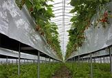 باشگاه خبرنگاران -افزایش ۲ برابری تولید گل در سطح گلخانه ها