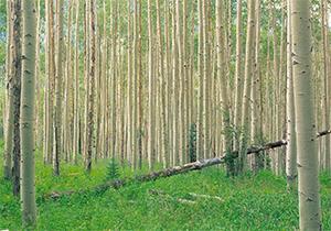 باشگاه خبرنگاران -کاشت درختان سریع الرشد، درمانی برای نیاز چوبی کشور + فیلم
