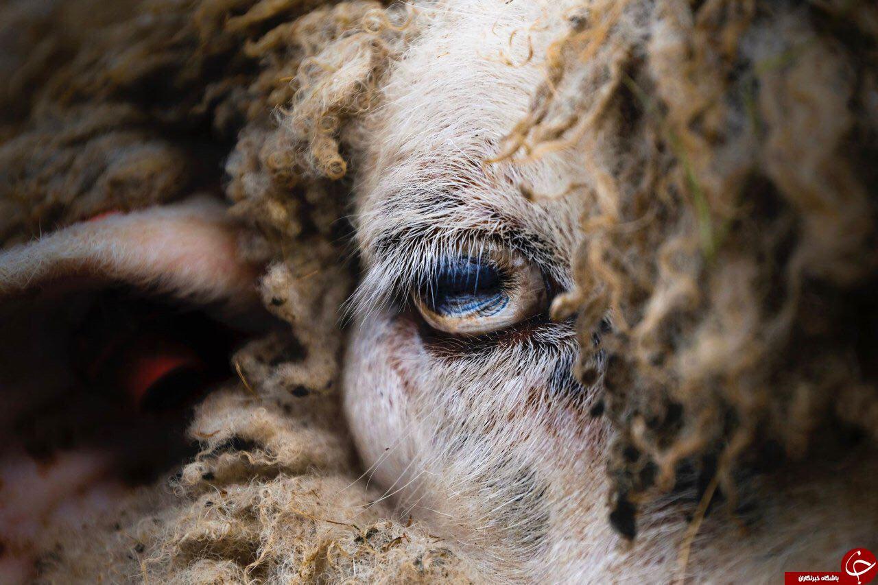 عکس روز نشنال جئوگرافیک از چشم یک گوسفند