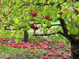 باشگاه خبرنگاران -40 هزار تن سیب درختی از باغداران خریداری شد