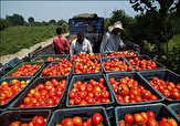 باشگاه خبرنگاران -آغاز برداشت گوجه فرنگی در بستک