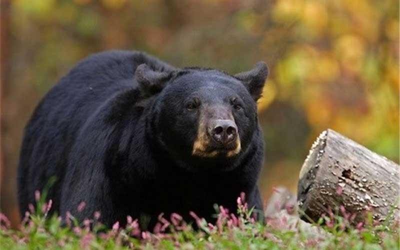 گزارش ///////خرس های آسیایی مانند یوزپلنگ ایرانی در معرض خطر هستند
