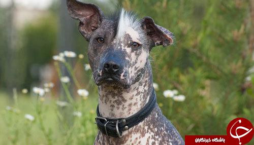 عجیب ترین سگ های دنیا را بشناسید+تصاویر