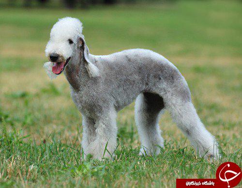 عجیبترین نژادهای سگ روی زمین