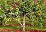 باشگاه خبرنگاران -قلع و قمع درختان سیب در «سنبلآباد» + فیلم