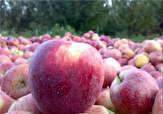 باشگاه خبرنگاران -تولید 93 درصد سیب صنعتی کشور در آذربایجان غربی