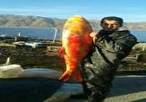 باشگاه خبرنگاران - صید ماهی قرمز 20 کیلویی در مریوان  + عکس
