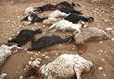 باشگاه خبرنگاران -خسارت 10 میلیون تومانی حمله گرگ به گوسفندان دامداران