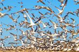 باشگاه خبرنگاران - زمستانگذرانی ۹۰ هزار پرنده در تالابهای گندمان و چغاخور