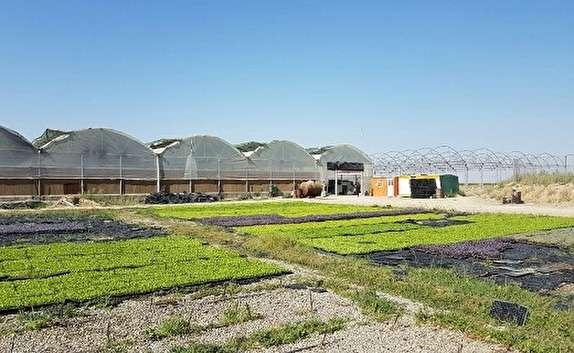 باشگاه خبرنگاران -۶۰ درصد تولید خیار سبز گلخانه ای استان یزد به کشور روسیه صادر می شود