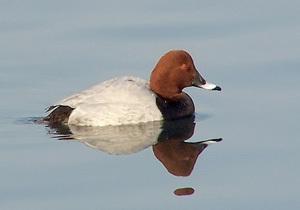 زمستانگذرانی اردک سرحنایی در تالابهای چغاخور و گندمان