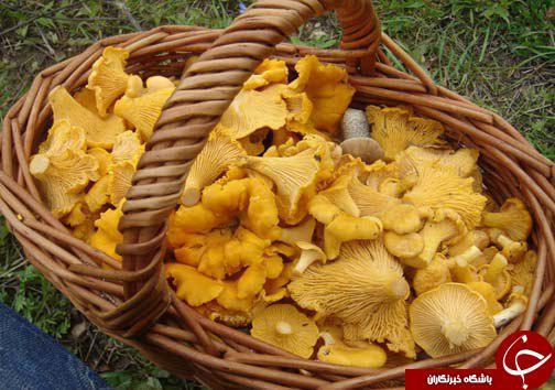 زرد کیجا، قارچ وحشی با طعم گوشت