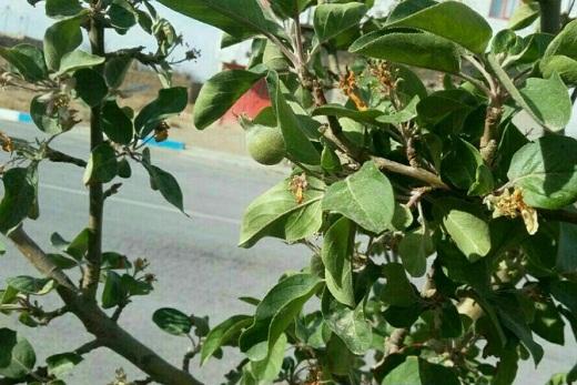 حال بهاری درخت سیب در خزان پاییز میلاجرد +عکس