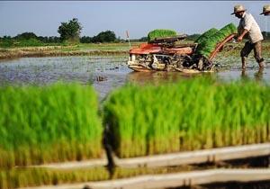Image result for خزانه گیری برنج در مازندران