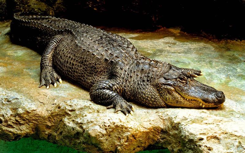 پیدا شدن تمساح ۳ متری در استخر یک مجتمع مسکونی!