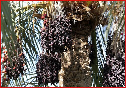 سوغات استان بوشهر/در سفر به استان بوشهر بهترین سوغات چیست؟