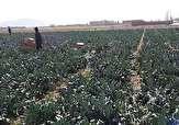 باشگاه خبرنگاران - نمایی زیبا و دیدنی از مزرعه کلم بروکلی + ئفیلم