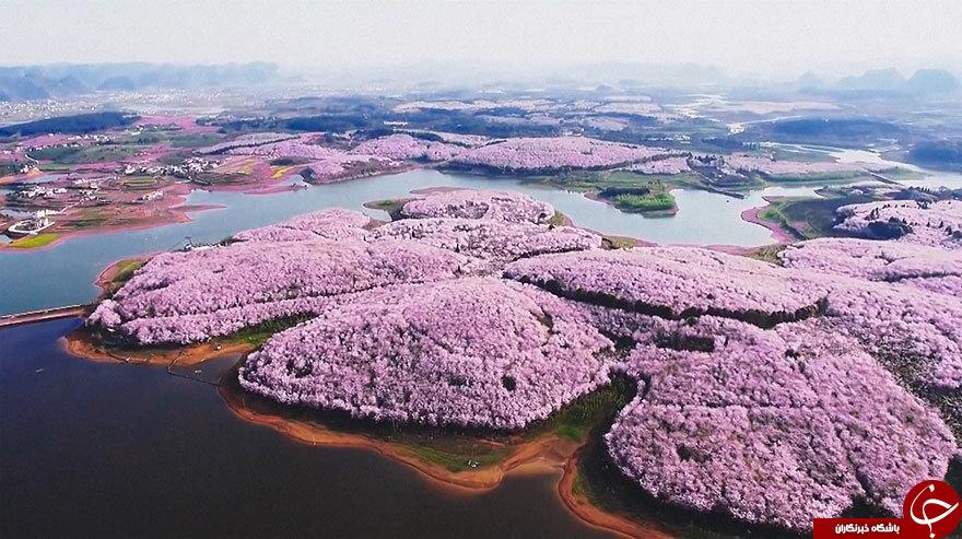 بهاری رویایی با شکوفه های گیلاس ژاپن+تصاویر