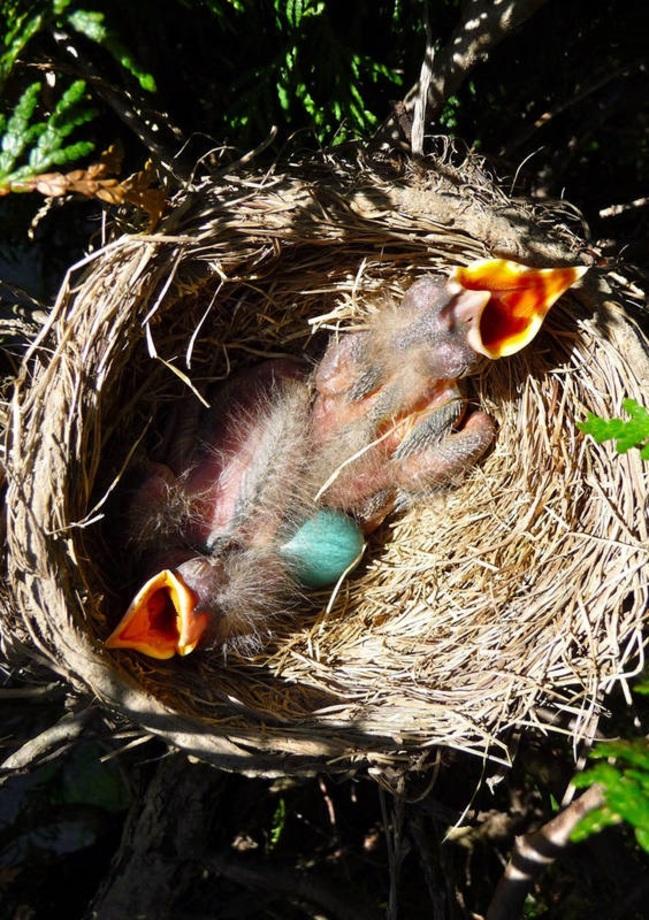 عکس پرنده سینه سرخ آمریکایی حیات وحش پرنده کمیاب پرنده زیبا
