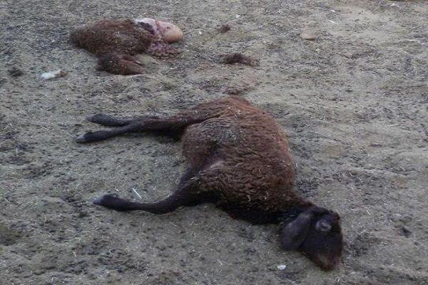 تلف شدن ۱۳ راس گوسفند بر اثر صاعقه
