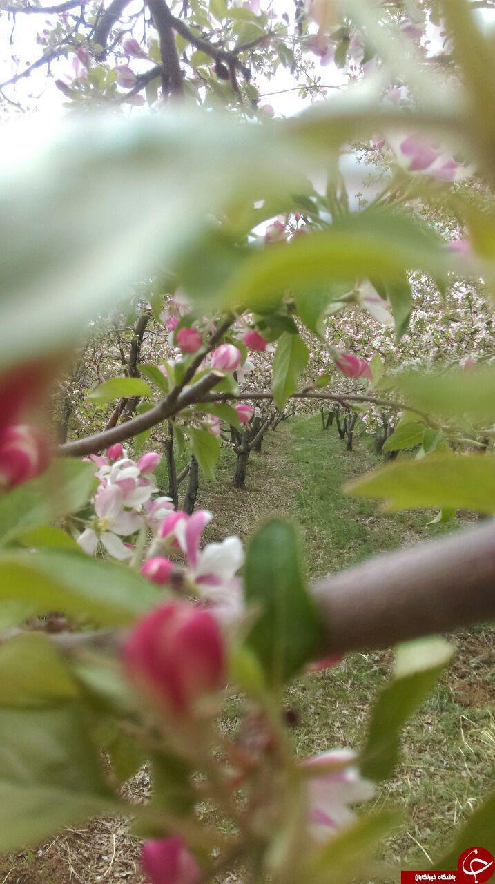 شکوفههای زیبای بهاری در روستای «شهیدآباد» + تصاویر
