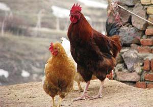 فیلم لحظه حیرت انگیز رها کردن هزاران مرغ و خروس از قفس، پس از 2 روز اسارت!