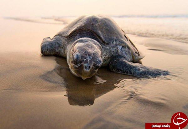 لاکپشت مادر در عکس روز نشنال جئوگرافیک