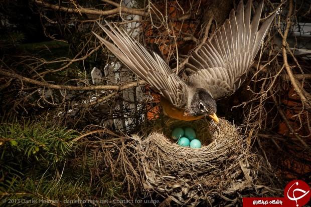 پرندهای زیبا به نام سینه سرخ! +تصاویر