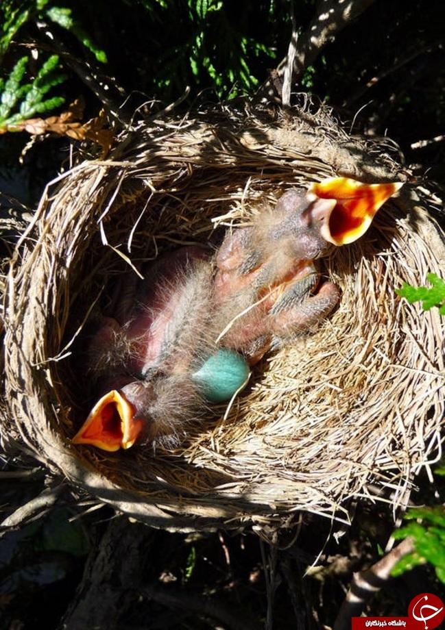 پرندهای منحصربفرد با تخمهای آبی فیروزهای+تصاویر