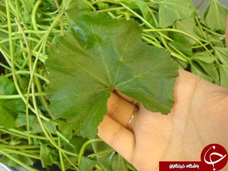 درمان گیاهی سنگ کلیه