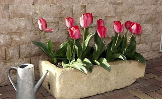چگونه از گل لاله سفره هفتسین مراقبت کنیم