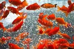 توصیه های بهداشتی در خصوص نگهداری از ماهی قرمز عید+اینفوگرافیک