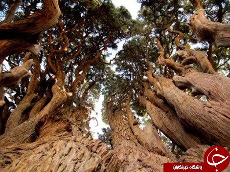 نوروز در یزد؛ از مسن ترین درخت جهان تا زیارتگاه چک چک اردکان +تصاویر و شناسه مسیرها