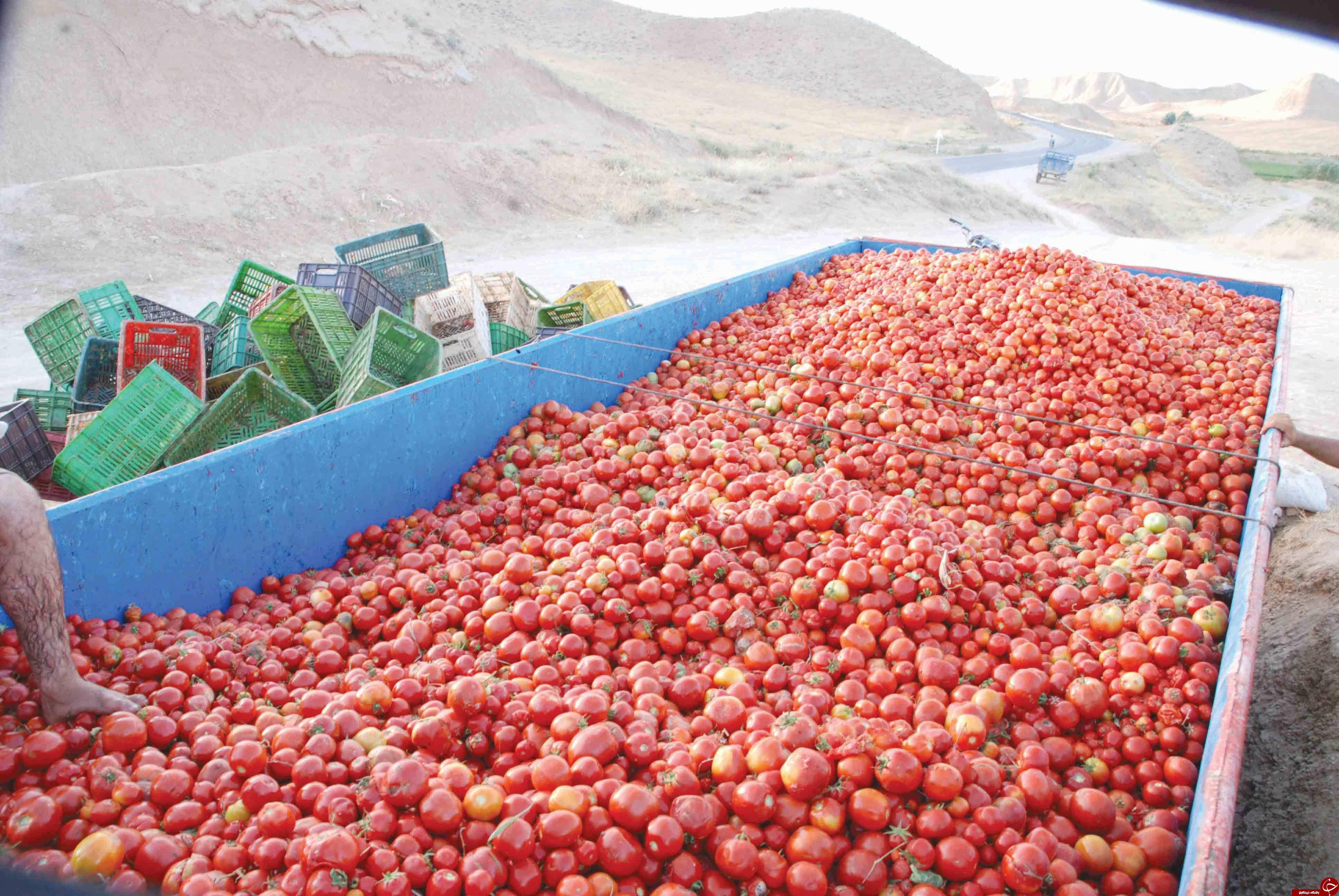 پیازهایی که اشک کشاورزان را در آورد / گوجه هایی که مفت هم نمی خرند