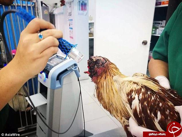 مرغی که یک هفته بدون سر زنده مانده است! + تصاویر