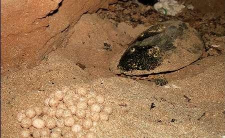 برنامه اقدام ملی حفاظت لاک پشتهای دریایی تدوین می شود