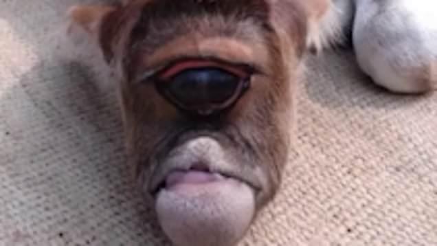 گوساله یک چشمی که در هندوستان پرستش می شود! + فیلم///