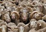 گوشت،افشاري،نژادهاي،گوسفند