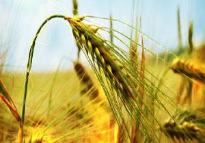 عرض اندام میوههای ایرانی در بازار کشورهای خارجی/ از رشد ۵ برابری برداشت گندم تا افزایش ۷۰ درصدی کشت برنج