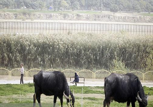 گاومیش های سلفی بهرام رادان برای اهواز تهدید هستند یا فرصت؟/گاومیش های اهواز خریدار برون مرزی دارند