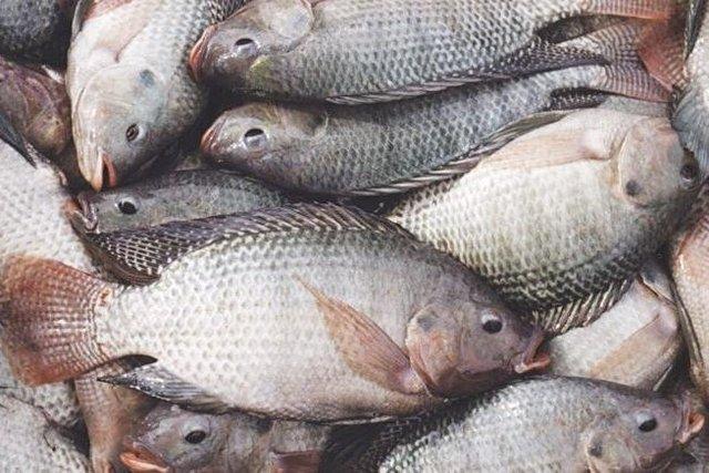ماهی خوزستان