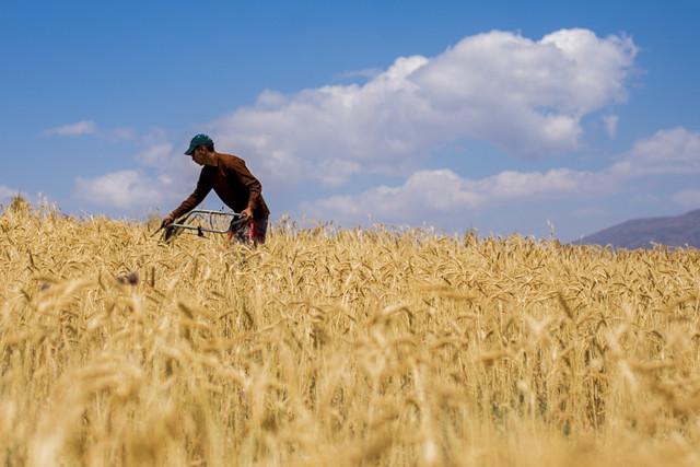 روز/کشت گندم به پایان رسیده است/پیش بینی تولید ۱۴ میلیون تن گندم برای سال