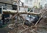 باشگاه خبرنگاران - له شدن پراید در اثر سقوط درخت بزرگ + فیلم و تصاویر