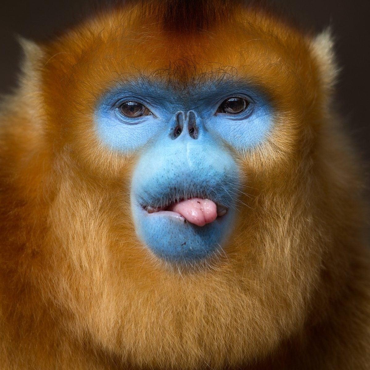 تصاویر روز: از قایق سواری دسته جمعی بابانوئلها در ایتالیا تا زبان درازی میمون در معرض انقراض در چین