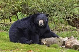 نجات پسر کوچولو با کمک خرس سیاه