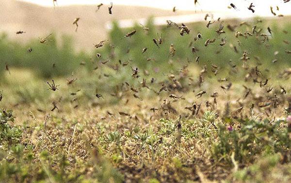 حمله ملخها به مزارع خنج +هشدار
